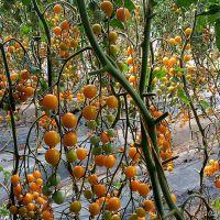 产地直销现摘现卖小柿子 黄色新鲜金蜜佳 包装批发水果