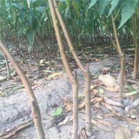多种品种【桃树苗批发】价格 高成活率桃树种苗地栽高产适合建园