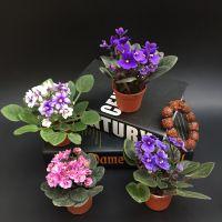 植语鲜花盆栽 办公室花卉桌面观花植物非洲紫罗兰盆栽带花苞发货