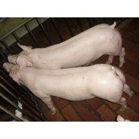 河南新大牧业高产仔数二元母猪 二元母猪怎么卖 二元母猪价格