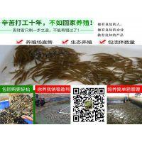 新闻报道泥鳅苗价格哪里有泥鳅苗出售泥鳅苗供应商