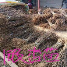 银杏苗 陕西汉中银杏苗基地直供价格 0.14元起量大质量好价格低