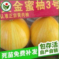 厂家供应 南方盆栽果树苗 黄金蜜柚3号果树苗批发
