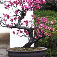 红梅花盆景哪里有卖的 红梅花盆景江苏沭阳商家直供