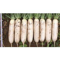 韩国白萝卜种子 长白萝卜 条形顺直 光滑 耐运输
