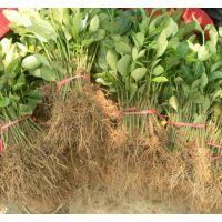 大叶黄杨小苗便宜了 20公分30公分40高大叶黄杨小苗价格江苏更便宜