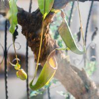 可定做猪笼草另类植物热带绿植仿真装饰花艺造景装饰吊饰壁挂