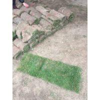 四季青草坪种植基地 四季青草坪供应商 四季常青草坪护坡绿化