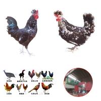 揭阳那里有卖鸡苗 贵州贵阳土鸡苗 宜宾鸡苗价格 上海买卖鸡苗贴吧