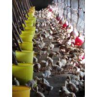 多亏了肉鸭催肥肠动力让我养4000只肉鸭挣得比8000只还多