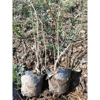 营养杯连翘苗产地=山西2年连翘苗农户直销 苗木高度50公分 杯苗地径0.4-0.7公分