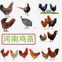 河南芦花鸡多少钱一只,芦花鸡的批发价格