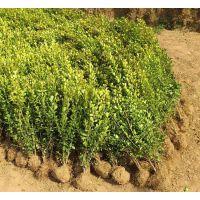瓜子黄杨产地 20公分-50公分高瓜子黄杨价格买的放心
