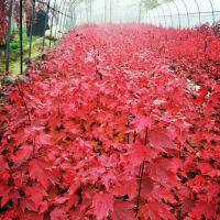 9公分美国红枫秋火焰 5公分美国红枫秋火焰产地 荣森