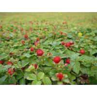 青州丽都花卉蛇莓小苗基地蛇莓产地价格