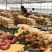 食用菌种 三级种栽培种 灵芝菌包 灵芝菌棒 康瑞灵芝菌种蘑菇菌棒