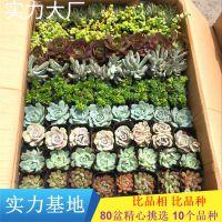 多肉带盆带土整箱批发 混装盆栽80颗稀有品种多肉植物整箱发货