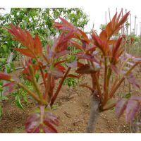 优质红油香椿苗种苗批发1cm至3cm等级1大量批发