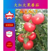 红太阳L7、大红番茄种子