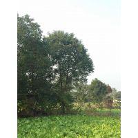 重庆大量出售小叶香樟批发基地,小叶香樟工程苗价格是多少
