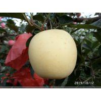 黄金苹果苗基地哪里有 优质苹果树苗 品种齐全 价格低廉
