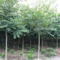 朴树直径40公分价格:直径40公分的朴树多少钱?