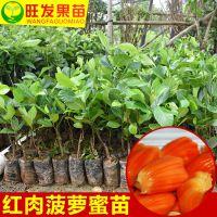 大量供应正宗泰国红肉菠萝蜜苗 嫁接水果树苗木菠萝蜜苗 可盆栽地栽苗品种纯正 量大价优