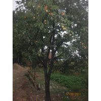 陕西西安柿子树基地在哪里,10公分柿子树多钱