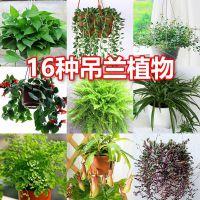 吊兰植物盆栽室内金边吊兰绿萝垂吊绿植净化空气吸甲醛四季常青