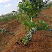 蓝莓种苗哪里有 批发蓝莓苗价格 产地直供 现挖现卖