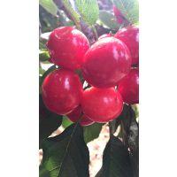 矮化佳红樱桃苗 中晚熟品种品质好耐运输肥厚多汁