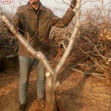 新品种桃树苗:1公分桃树、1公分桃树培育基地