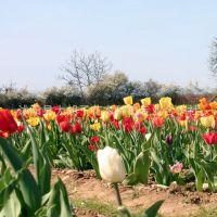 基地批发多色荷兰郁金香种球花卉 庭院盆栽景观绿化郁金香大球