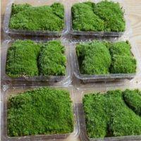 活苔藓缸壁花盆微景观苔藓新鲜盆景造景野生草皮生态鲜活花房桌面