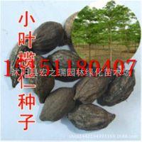 新采小叶榄仁种子 细叶揽仁非洲榄仁 法国枇杷种子雨伞树种子批发