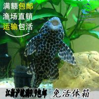 活体金鱼垃圾鱼热带工具鱼金龙锦鲤鱼鹦鹉鱼孔雀清道夫鱼观赏包邮