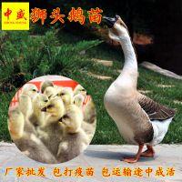 广东汕头狮头鹅苗多少钱一只 鹅养殖孵化场鹅苗批发新行情报价出售统货