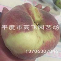 黄桃苗 黄金蟠 南方桃树品种