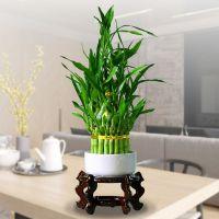 室内竹塔富贵竹水培植物花卉水养节节高办公室小绿植竹子盆栽包邮