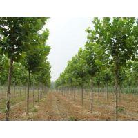 法桐树多少钱一颗(图)-法桐树扦插-法桐树