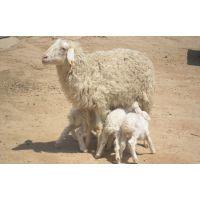 育肥羊的预混料