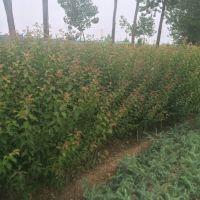 基地直销 苗圃直销优质红梅苗 庭院观花植物 当年开花 花期长