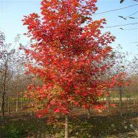 山东15公分美国红枫-富丽银杏苗木-15公分美国红枫