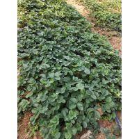 草莓苗批发价格,保质保量,价格公道