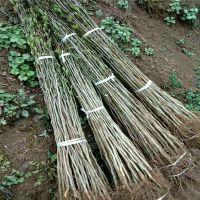 药用杜仲树苗 批发优良小树苗杜仲药材苗 现货批发园林绿化植物苗