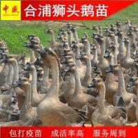 鹅孵化场出售广西南宁合浦狮头鹅苗批发多少钱一只黑狮头鹅苗养殖技术统货高成活率货到付款
