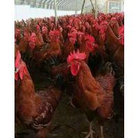 红玉鸡苗批发价格/红玉鸡/成品红玉鸡多少钱一斤