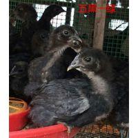 养殖跑山鸡需要多少成本如何降低饲养成本养鸡技术培训