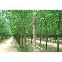 沭阳杨树苗市场价格胸径2-10公分杨树苗规格齐全