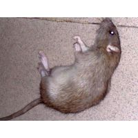 眉山灭鼠公司、眉山专业灭鼠公司、眉山家庭灭鼠公司